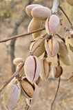 Brown Pistachio Nut Lot Royalty Free Stock Images
