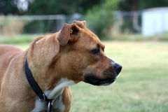 Brown Pit Bull. Close up view of a pit bull dog Stock Photo