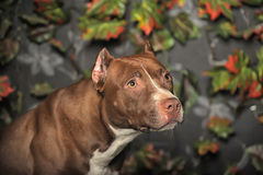 Brown Pit Bull Stock Photos