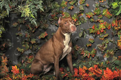 Brown Pit Bull Stock Image