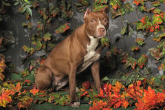 Brown Pit Bull Stock Photography