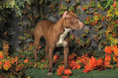 Brown Pit Bull Royalty Free Stock Photos