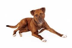 Brown Pit Bull Cross Dog Stock Image