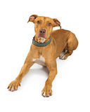 Brown Pit Bull Crossbreed Large Dog imagens de stock royalty free