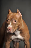Brown  Pit Bull Terrier Stock Images