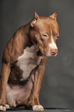 Brown  Pit Bull Terrier Royalty Free Stock Image