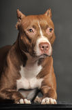 Brown  Pit Bull Terrier Royalty Free Stock Photo