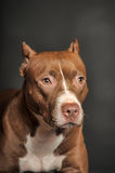 Brown  Pit Bull Terrier Stock Photo