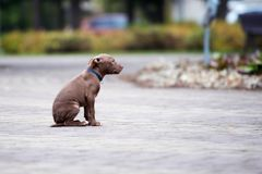 Brown pit bull terrier puppy posing outdoors in autumn. American pit bull terrier puppy posing outdoors Royalty Free Stock Photo