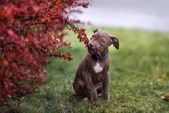 Brown pit bull terrier puppy posing outdoors in autumn. American pit bull terrier puppy posing outdoors Stock Photo