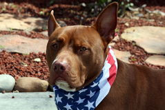 Brown Pit Bull Wearing Patriotic Bandana. Brown Pit Bull dog wearing patriotic bandana Royalty Free Stock Photos