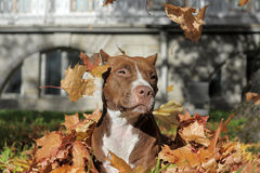 Brown-pitbull stockfoto