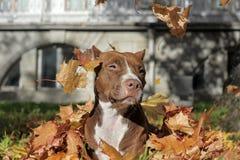 Brown pitbull stock photo