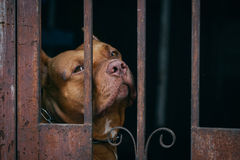 Brown Pitbull dog behind rusty cage Stock Photography