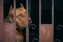 Brown Pitbull dog behind rusty cage Royalty Free Stock Photography