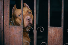 Brown Pitbull dog behind rusty cage. Pit bull breeds dog animal pet cage fence barred Royalty Free Stock Photo