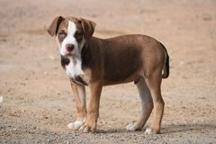 Pittbull. Brown pitbull puppy on the farm royalty free stock photo