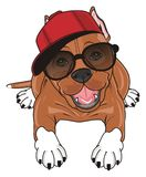 Cool staff in cool stuffs. Brown pitbull in red cap and black sunglasses lying and watch Stock Photos
