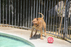 Brown pitbull shaking off water after a swim Stock Photos