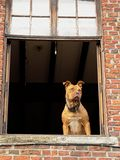 Brown pitbull terrier standing in an open window, looking ahead curiously royalty free stock images