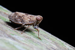 Brown plant hopper Stock Photos