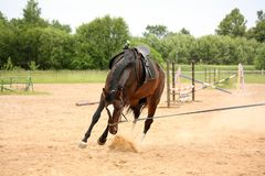 Brown playful latvian breed horse bucking and trying to get rid Stock Images