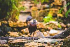Brown Plegadis. At Autumn wildlife Stock Image