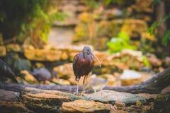 Brown Plegadis. At Autumn wildlife Royalty Free Stock Image