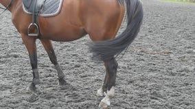 Brown plenerowy i merdanie koński trwanie ogon Tyły widoku zwolnionego tempa tylny zakończenie up zbiory