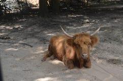 Brown położenia kosmata krowa Obrazy Royalty Free