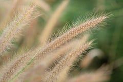 Brown poaceae trawy kwiat Zdjęcia Royalty Free