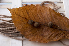 Brown pod capsule on a dry leaf as an autumn background Stock Photography