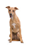 Brown Podenco Dog Royalty Free Stock Images