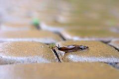 Brown podrożec czołgać się na mokrej brukowej cegiełce w deszczu w poszukiwaniu zielonego liścia obrazy stock