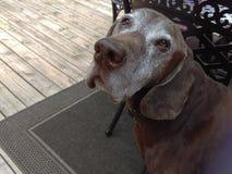 Brown pointer dog royalty free stock photos