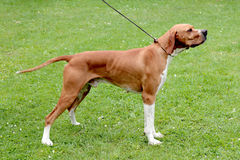 Brown pointer dog Stock Image