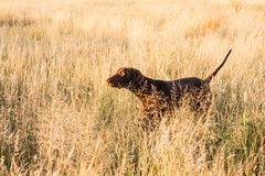 Pointer dog pointing in the afternoon grass stock photos