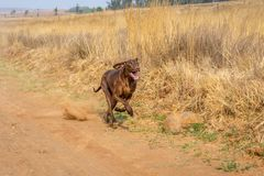 Brown Pointer dog running along a gravel road, kicking up dust royalty free stock photos