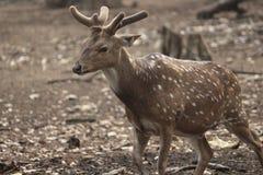 Brown polka  deer in the park Royalty Free Stock Image