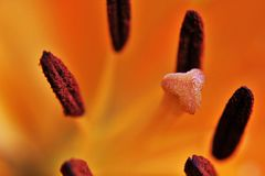 Brown pollen on the orange pestle of an orange lily.
