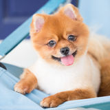 Brown Pomeranian Imágenes de archivo libres de regalías