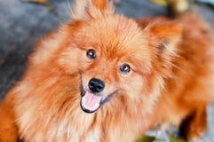 Brown pomeranian dog Stock Photos