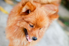 Brown pomeranian dog Royalty Free Stock Images