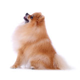 Brown pomeranian dog Stock Images