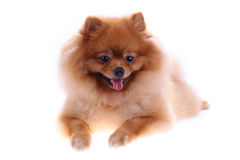 Brown pomeranian dog, cute pet Stock Photos