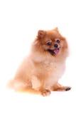 Brown pomeranian dog isolated Stock Photos