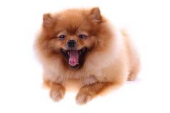Brown pomeranian dog isolated Royalty Free Stock Photo