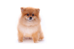 Brown pomeranian dog on white background, cute pet Stock Photo