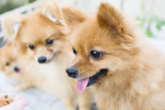 Brown Pomeranian dogs. I need some foods Royalty Free Stock Photography