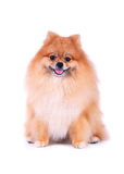Brown pomeranian grooming dog on white backgr Stock Photo